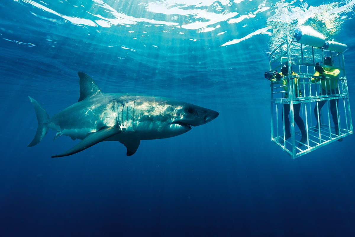 Great White shark cage diving - Cape Town - Hermanus
